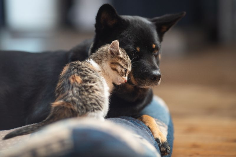A black dog snuggles with a tabby kitten.