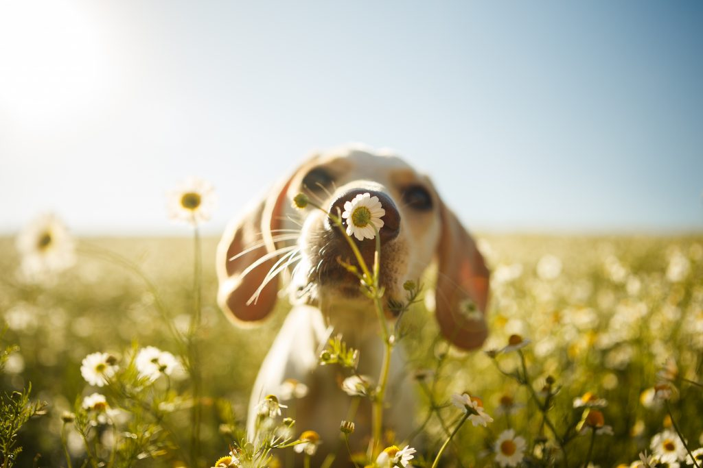 A dog sniffs a flower in a meadow.